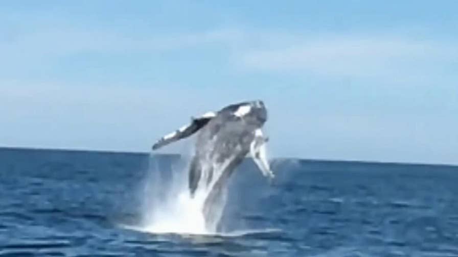 Raw slow motion video of whale leaping from the water.