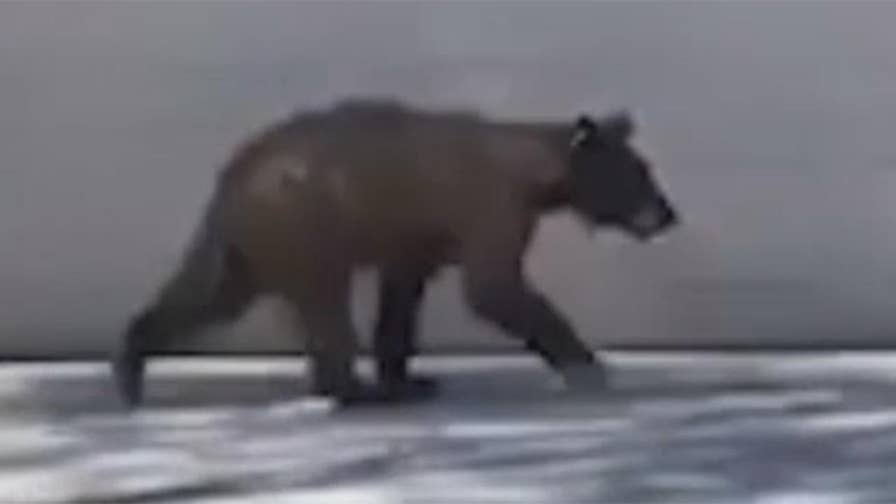 Cellphone video captures bear moving from house to house in community north of Phoenix.