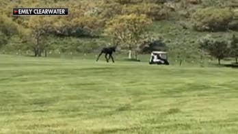 A 'gigantic' moose on the loose in Utah gave a pair of Memorial Day golfers a serious scare in a clip that has since gone viral on Facebook.