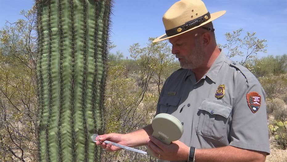Arizona park rangers protect cactus with microchips