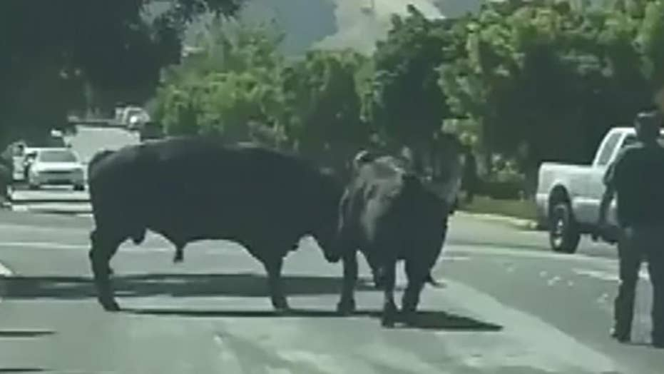 Raw video: Escaped bulls face off in California neighborhood