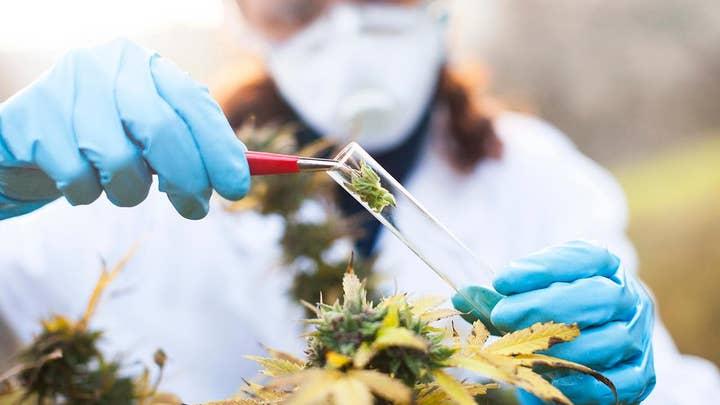 Cancer treatment: Will marijuana replace opioids?