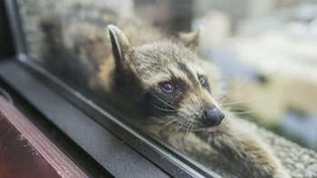 Raccoon captured on roof of UBS Tower in St. Paul, Minnesota after thousands follow animal's 23-story climb on social media.