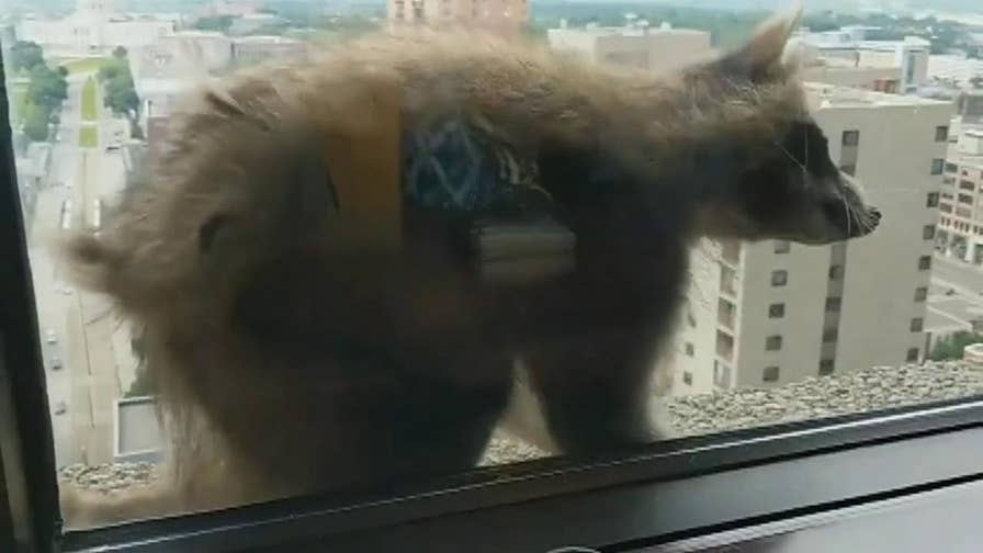 The pint-sized daredevil climbed all the way up to the 23 story of an office building before being removed by building maintenance.