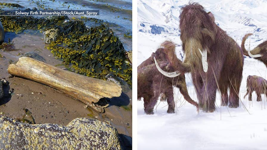 Woolly Mammoth: A look at a rare discovery at Loch Ryan beach