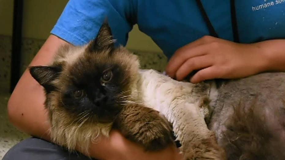 'Chubbs' the cat at shelter in Pasadena, California