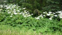 30 giant hogweed plants that can cause 3rd-degree burns and permanent blindness was discovered in Virginia.