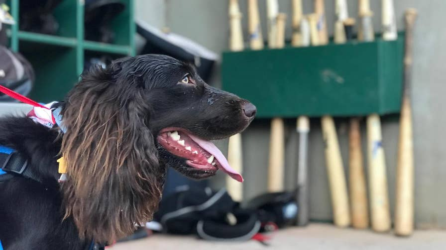"""Many dogs are joining baseball teams around the country, but a South Carolina minor league baseball team is switching it up on the field by recruiting a 1 year old Boykin Spaniel as their new """"ball boy"""""""