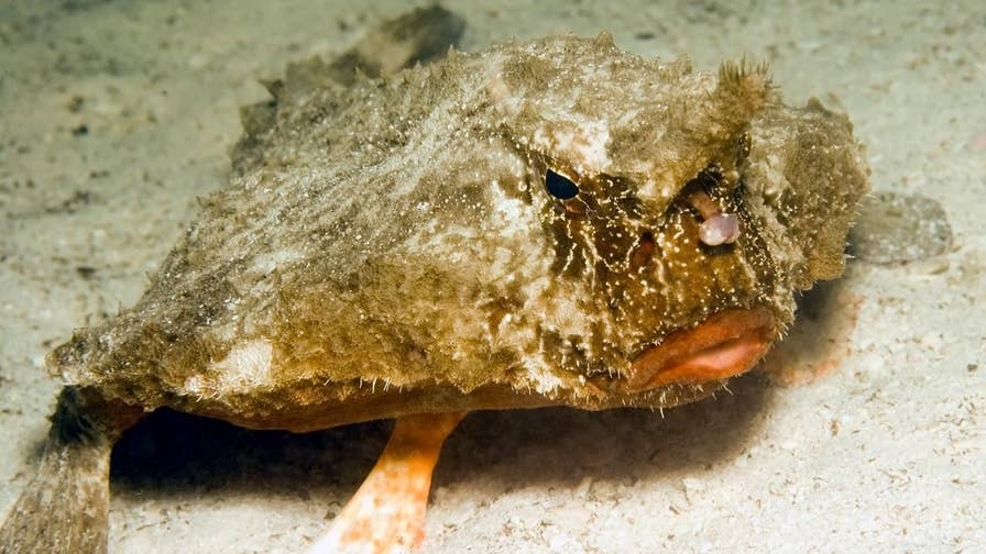 An odd-looking fish that lives on the ocean floor shocked Texas park rangers when it washed up on Padre Island National Seashore in Corpus Christi last week. Photographer Edie Bresler was scanning the beach when he spotted what turned out to be a thick-tailed batfish.