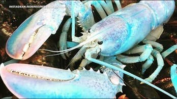 Find out where and who caught a rare cotton candy-colored lobster