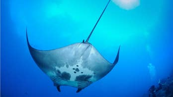 A Scripps institution of technology student has discovered the world's first manta ray nursery in the Gulf of Mexico.