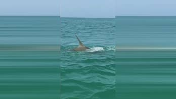 Hammerhead shark chases and catches tarpon.