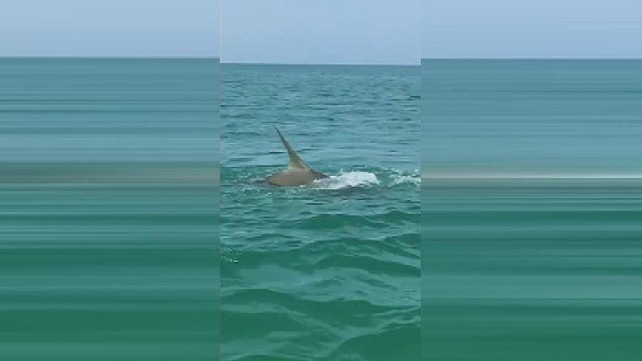 Raw video: Shark goes deep sea fishing in Florida