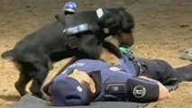 Raw video from the Madrid police department shows a police dog performing CPR on a police officer pretending to be unresponsive.