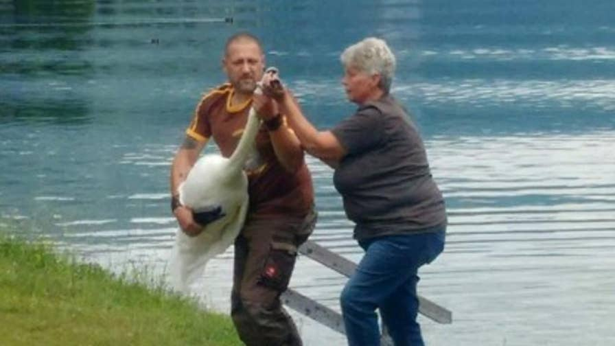 A pair of gay male swans are off to an animal reserve after attacking several people at an Austrian lake. The swans were apparently protecting their nest which housed a colorful plastic cup as opposed to an egg.