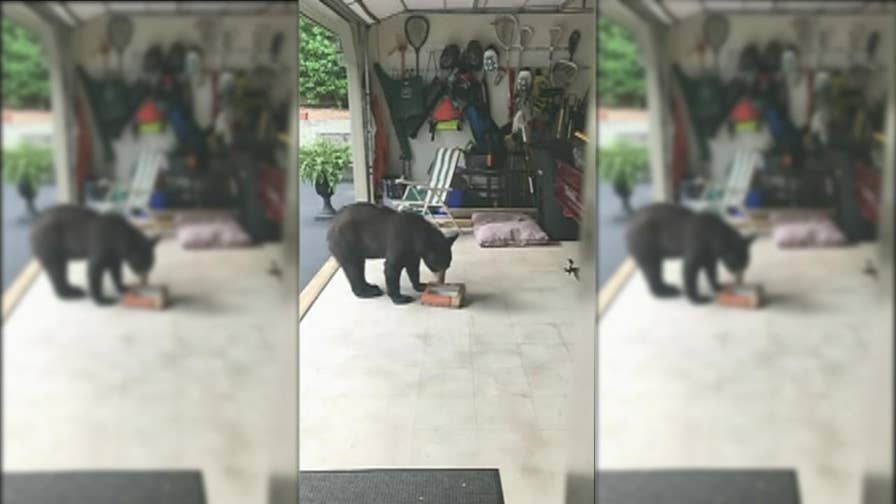 A hungry black bear is caught Chowing down on a box of donuts at a family's home in Hendersonville, North Carolina.