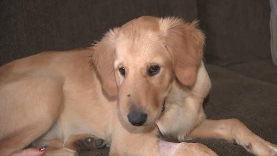 Golden retriever stops rattlesnake attack