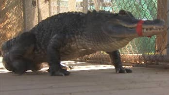 Mr. Stubbs came to the Phoenix Herpetological Society in 2008, his tail bitten off by another gator.