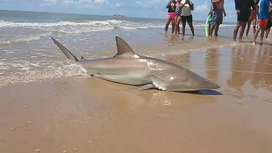 Raw video: Woman reels in shark at Texas beach