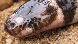 Scientists searching for sea snakes never expected to stumble across this find.