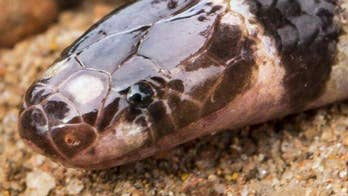 Researchers found a new species of bandy-bandy snake in Australia, which is already in danger of extinction because of mining.