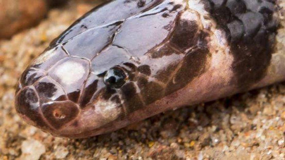 New venomous snake species found in Australia