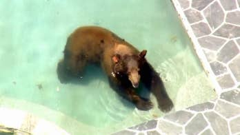 Bear cools down with a dip in the pool.
