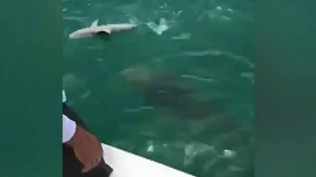 Caught on video: Massive grouper eats shark