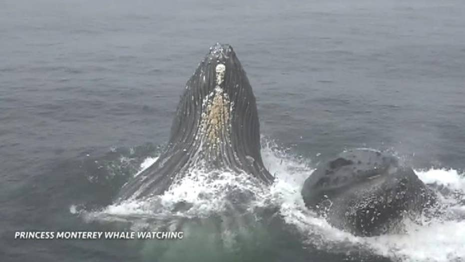 Humpback whales leap out of water near whale watching boat