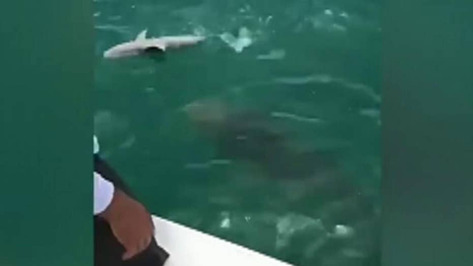 Caught on video: Massive grouper eats shark