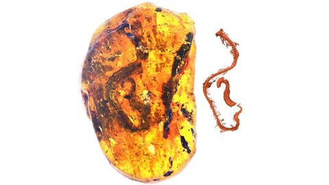 Dinosaur-era snake embryo found fossilized in amber