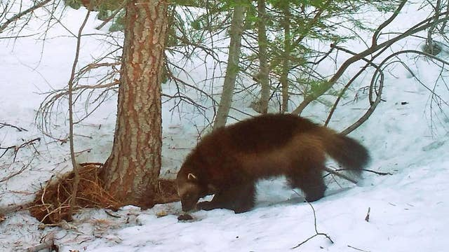 Sweeping changes proposed for Endangered Species Act
