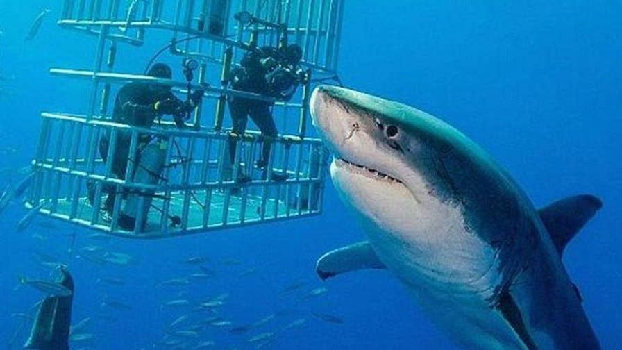 """A 20-foot great white shark known as """"Deep Blue"""" is caught on film. The 50-year-old shark is thought to be the largest great white ever filmed in the wild."""