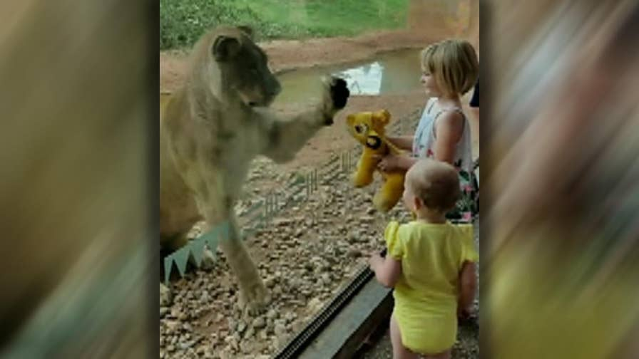 A lioness at the Oklahoma City Zoo reacts to a little girl's stuffed toy.