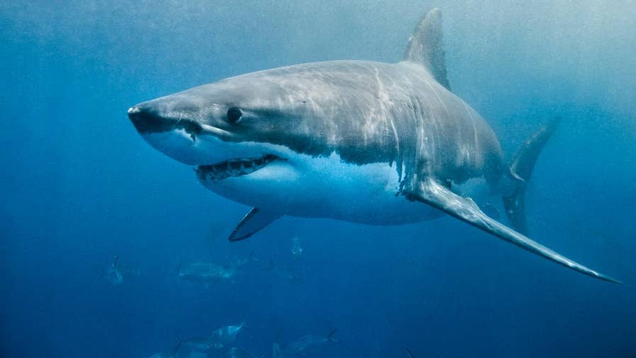New video shows a great white shark trying to steal a striped bass from a fisherman in Cape Cod Massachusetts.