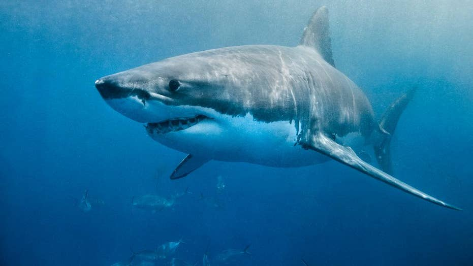 Shark video: Great white snags a fish from Cape Cod fisherman