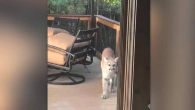 Colorado man films family of mountain lions on his porch
