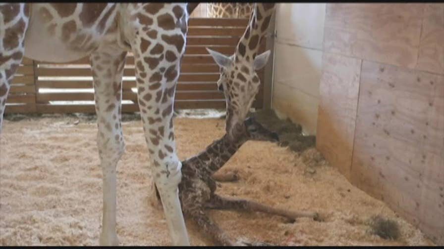The 17-year-old giraffe, who became an Internet sensation during her last pregnancy in 2017, is expecting her fifth calf.