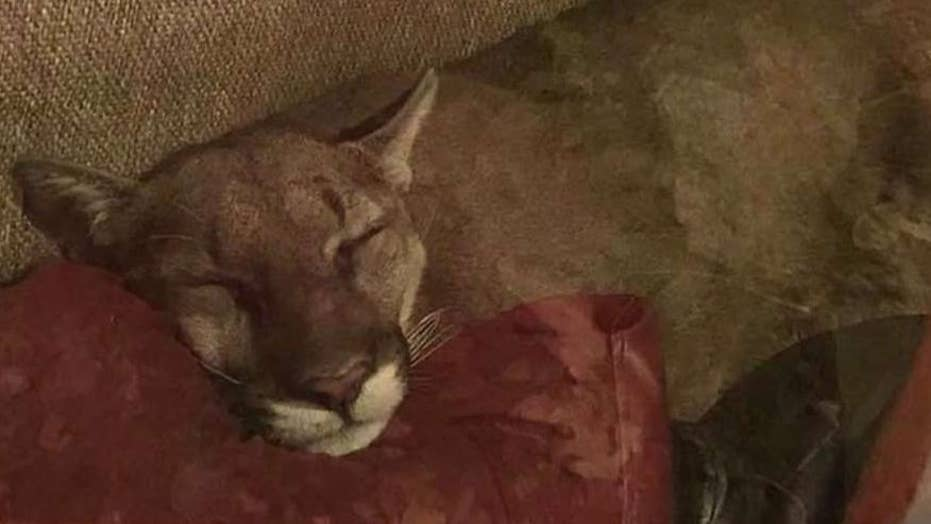 Oregon woman finds mountain lion napping in her home