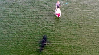 A drone operator captured a stunning image of a paddle boarder and a great white shark swimming just feet away.
