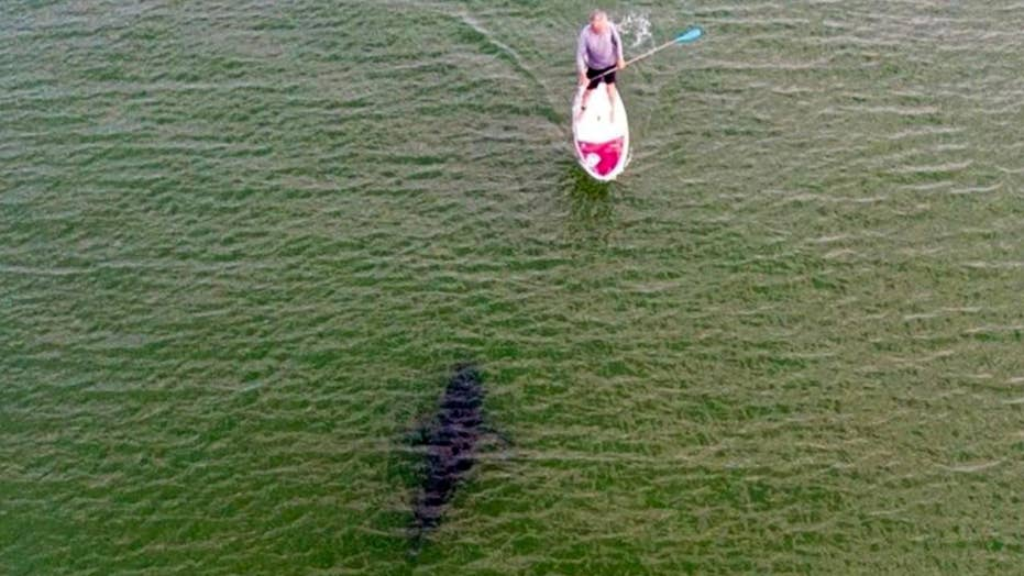 Drone captures close encounter between paddle boarder and shark
