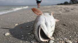 Florida's red tide, which was declared an emergency by Gov. Rick Scott on Monday, has been devastating marine life on Florida's Gulf Coast this summer.