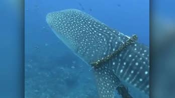 A family diving off the coast of Kaunolu, Hawaii decides to free a whale shark from fishing line.