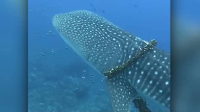 Raw video: Diving trip becomes mission to rescue whale shark