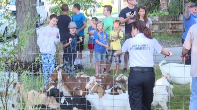 Goats wrangled up after taking over Idaho neighborhood