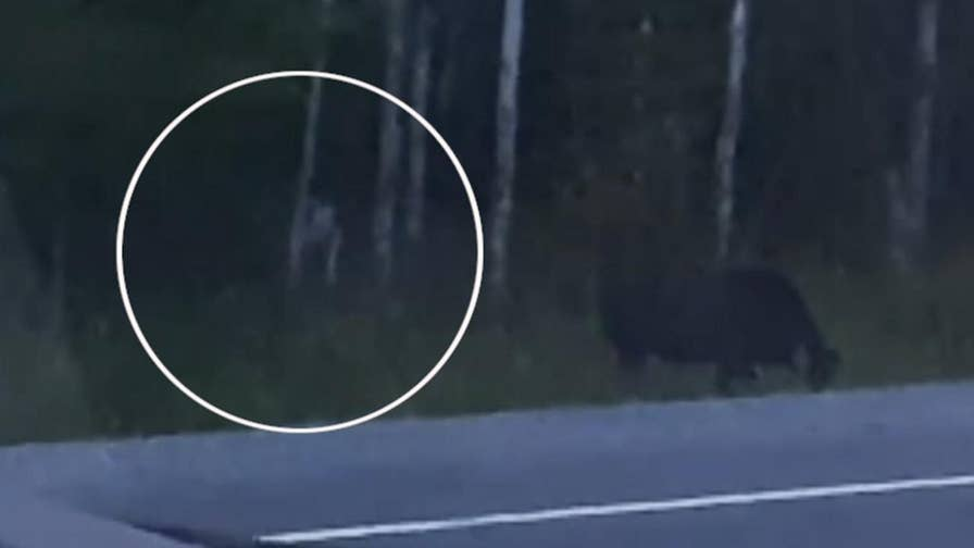 Raw video: Canadian man records footage of what appears to be a mysterious white creature stalking a moose at the edge of a forest in Quebec.