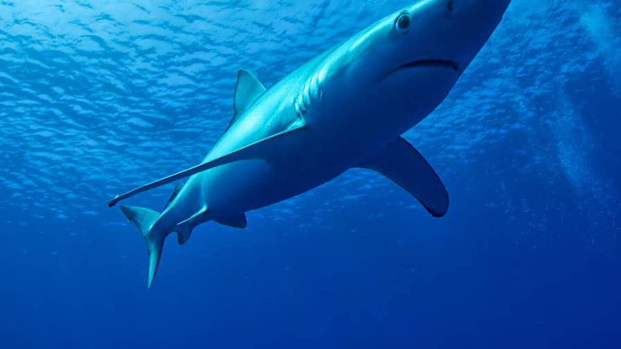 Beach goers at a popular tourist spot in Majorca, Spain got a close encounter with a disoriented blue shark that swam up close to the shore, causing massive evacuations.