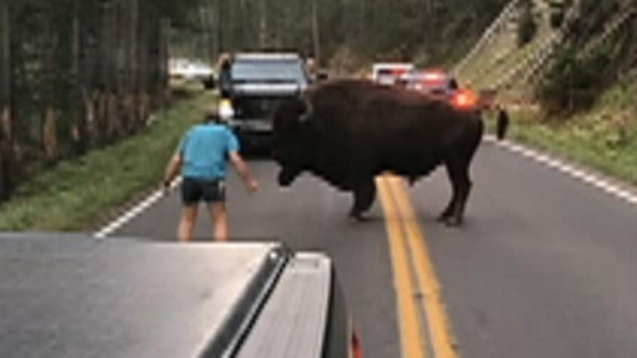 Raw video: Onlookers watch in disbelief as man confronts huge bison that was blocking traffic.