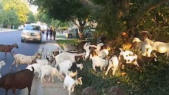 The owners of We Rent Goats explain on 'Fox & Friends' how a pack of goats ended up loose on the streets of a Boise, Idaho neighborhood.