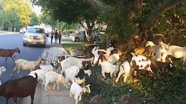 The backstory of how goats stormed an Idaho neighborhood